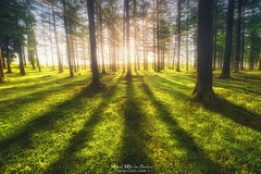 Let there more light (Mimadeo) Tags: forest sunlight trees tree shadow shadows sunray sunrise sunset green spring springtime grass backlight trunks backlit landscape light sunbeams rays sunrays lines summer larches pines sun sunny