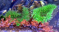 Sea Anemone (pandt) Tags: seaanemone anemone sea ocean tidalpool green red rocks wildlife nature water coast costal oregon newport outdoor canon eos 7d slr yaquina head preserve