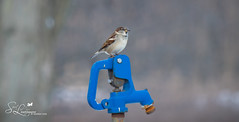 Looking For a Drink of Water (amndcook - happy & blessed) Tags: photo wings winter season nature spiritledphotography sparrow amandacook michigan feather photograph wildlife outside bird outdoors portrait pentax