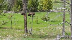 DSCN6201-01 (michaelstafford5) Tags: yellowstonenationalpark grizzlybear bearcub nikonp510