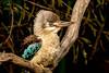 A blue-wing (dmunro100) Tags: bluewing kookaburra daceloleachii kangarooisland portrait southaustralia somethingthatflies