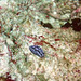 Phyllidia