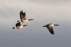 Three Canada Geese BIF....6O3A6871CR2Ab (dklaughman) Tags: canadagoose geese maryland flight
