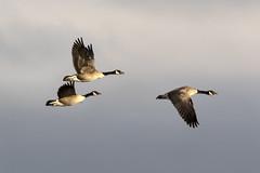 Three Canada Geese BIF....6O3A6871CR2Ab (dklaughman) Tags: canadagoose geese maryland flight