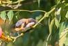 Eastern Spinebill (R. Francis) Tags: acanthorhynchustenuirostris easternspinebill ondiong dorrigo nsw newsouthwales northernnsw midnorthcoast ryanfrancis ryanfrancisphotography