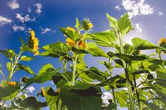 cherriehughesphotographer-8927 (bilateral) Tags: sunsetsymphonyinthesunflowers sunflowers sugarcane celebration music orchestra sakwolo assi australiansouthseaislander agriculture concert farm simonmattsson sugarvsthereef