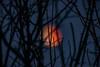 Super blue blood moon (julesnene) Tags: california canon5dmarkiv canonef400mmf56lusmlens juliasumangil superbloodmoon superbluebloodmoon bloodmoon julesnene lunareclipse moon tree