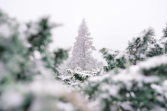 snow trees (ChenLiang0729) Tags: snow snowland landscape snowmountain snowtree trees forest white whitebackground mtjade nature leaves green cold winter outdoor 雪地 樹林 frame 框 玉山 初雪