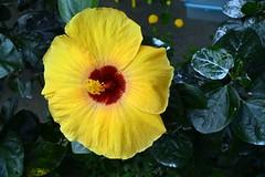 WOL Calauan Laguna Philippines Day 1 (133) (Beadmanhere) Tags: philippines flowers