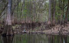 high water marks (tfhammar) Tags: hillsborough river tampa high water mark cypress trees little blue heron