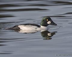 Goldeneye (pandatub) Tags: bird birds duck goldeneye shorelinepark mountainview