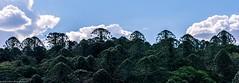bunya pines (andrew.walker28) Tags: bunya mountains national park queensland australia trees panorama