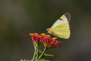 Common Melwhite (Melete lycimnia)