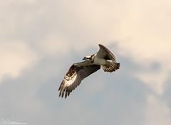 Osprey Fishing, The Search (Steve (Hooky) Waddingham) Tags: bird british countryside coast catch nature photography prey fish flight fishing wild wildlife