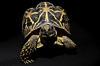 Walking dinosaur (ericwouwenberg) Tags: tortoise startortoise dinosaur schildkröte schildpad blackandyellow beuatiful