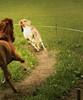 RUN (Demarmels) Tags: run running rennen horses horse icelandichorse iceland galopp islandpferd island pferd wettrennen race tobiasdemarmels reiten pferde pferdegeschichten outdoor color fast schnell