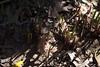 jdy090XX20160330a1497.jpg (rachelgreenbelt) Tags: ghigreenbelthomesinc usa greenbelt northamerica midatlanticregion ouryard monocots orderasparagales familyasparagaceae muscarigenus maryland americas muscari magnoliophyta asparagaceae asparagaceaefamily asparagales floweringplants irides monocotyledons spermatophytes