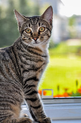 Salty (jlucierphoto) Tags: pet cat kitten cute tiger jameslucier nikon