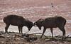 Sambar deers fighting for the lake (praveen.ap) Tags: sambar deers fighting lake sambardeer ranthambhore ranthambore ranthambhoretigerreserve ranthamborenationalpark ranthambhorenationalpark ranthamboretigerreserve rajasthan sawaimodhapur zone4 4 malik maliklake