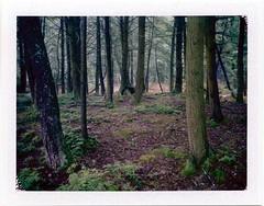 (babireley) Tags: polaroid250 fujifilmfp100c pawilds pottercounty pa pottercountypa trees winter susquehannockstateforest