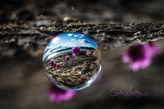 Spring reflection (CecilieSonstebyPhotography) Tags: glass spring clovers flowers glassball closeup flower ef100mmf28lmacroisusm outdoor canon glasskule markiii macro sea canon5dmarkiii water rock sunlight bokeh purple clover reflection