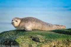 Young Harbor Seal (Anton Troia) Tags: ngc seal