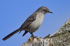 Northern Mockingbird (jt893x) Tags: 150600mm bird d810 jt893x mimuspolyglottos mockingbird nikon northernmockingbird sigma sigma150600mmf563dgoshsms songbird coth alittlebeauty thesunshinegroup coth5