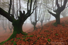 EL DUELO (Obikani) Tags: gorbea gorbeia bizkaia biscay forest beech mist atmosphere basquecountry basque landscape nature tree
