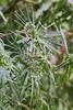 Zyperngras (Cyperus alternifolius) (blumenbiene) Tags: pflanze plant boga botanical garden botanischer garten leipzig zyperngras cyperus alternifolius umbrella papyrus sedge palm