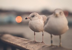 Battery Park, NY (Awesome Earth) Tags: earth awesome nature seagull bokeh animals love