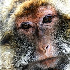 Portrait de macaque (didier95) Tags: macaque singe animaux animal portraitdesinge portraitdemacaque
