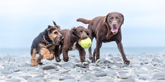 My Ball !!! (Nathan J Hammonds) Tags: borth beach wales coast seaside dog dogs pet pets ball welsh terrier sprocker labrador summer nikon d750 chase