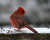 DSC_8758 e5 8x10 (J Telljohann) Tags: kingwood texas snow cardinal red