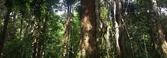 Tropical Rainforest (Sam H. Maas) Tags: wald forest baum tree tropischerregenwald tropicalrainforest natur nature outdoor licht light totale grün green wood holz stamm blätter