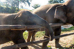 Elephants, Elephants, and More Glorious Elephants (sheiladeeisme) Tags: elephants animals nature elephantnaturepark travel ecotourism tourist tourism shevo chiangmai thailand seasia asia fun adventure explore