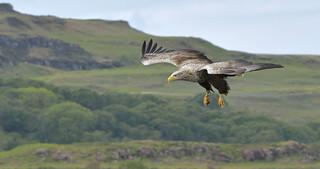 White-Tailed Eagle, Inner Hebrides