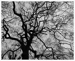 Broken - Explore 29/1/2018 (Gert Vanhaecht) Tags: nature trees vilvoorde monochrome tree canon belgium composition canonsx720hs backlight gertvanhaecht silhouettes