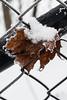 Leaf (mellting) Tags: eskilstuna nikond500 platser promenadetuna bloggad flickr instagram matsellting mellting nikkor5018 nikon sverige sweden leaf frost acer maple winter