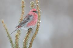 Pine Grosbeak (Joe Branco) Tags: ontario canada wildlifephotography photoshopcc2018 nikond850 nikon branco joe birds wildlife joebrancophotography pinegrosbeak green