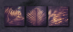 Bronze colored feathers (Ro Cafe) Tags: triptych macro monochrome feathers bronze dark lowkey nikkormicro105f28 nikond600
