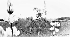 368. BEACHSIDE 15. Dunescape In Ink, 5 (Meili-PP Hua 2) Tags: grass blackandwhite fauxinkwash abstract beach seaside sanddunes coastal marine flora botanicals plants lupins weeds blackandwhitephotography yellowlupins lupinflowers wildlupins coastalflora coastalgrasses coastalgrass coastalbotanicals dunegrass dunegrasses beachvegetation beachflora duneflora beachgrass beachgrasses mlpphnature mlpphflora wildflowers blackwhite whiteblack blackwhitephotography whiteblackphotography bw monochrome monochromatic gray grey white black mlpphbwphotos photographypassionsxyz nature shrubs shadows slihouettes backlit backlighting