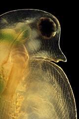 Daphnia (mr.sansibar) Tags: crustacea plankton zooplankton pondlife darkfield planapo focusstacking olympusbh2 photomicrography microscopy heliconfocus polarizedlight waterflea cladocera daphnia