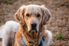 Yogi '18 (R24KBerg Photos) Tags: yogi 2018 canon portrait dog sweet goldenretriever furry cute pretty handsome animal pet friend nc eyes winternose sunset dusk serious
