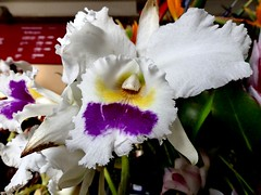 Orchid 3.2.18 (ericy202) Tags: orchid farmersmarket funchal madeira