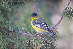 Lesser Than (gseloff) Tags: lessergoldfinch bird wildlife nature animal perch davismountainsstatepark fortdavis jeffdaviscounty texas gseloff
