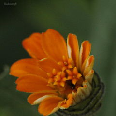 Daisy (blackcatcraft) Tags: orange garden macro flower