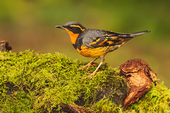 Varied Thrush (Martin Dollenkamp) Tags: vancouverisland birds nature woodpecker hairy hairywoodpecker britishcolumbia picoidesvillosus canada