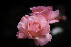 Kreta, Neapolis, Rose (FBK1956) Tags: 2017 blumen griechenland kreta neapolis pflanzen
