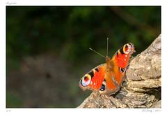 Papillons | Butterflies (BerColly) Tags: france auvergne puydedome insectes paillons butterflies bokeh été summer bercolly google flickr
