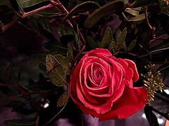 Beauty is not in the face, beauty is a light in the heart (Khalil Gibran) (RenateEurope) Tags: nature renateeurope 2018 iphoneography red rose flower flora